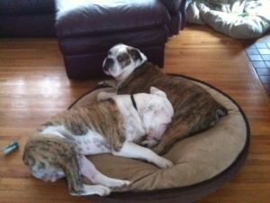 Here's another beauty.  170 lbs of dog on one bed results in some bad touching