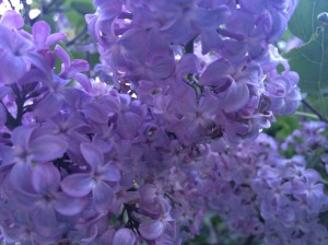 Actual photo of my lilacs